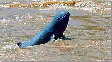 H1B_-Mekong-Dolphin