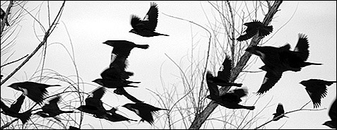 13 ways of looking at blackbird