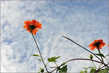 Hoa quỳ đỏ