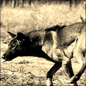 feral dog