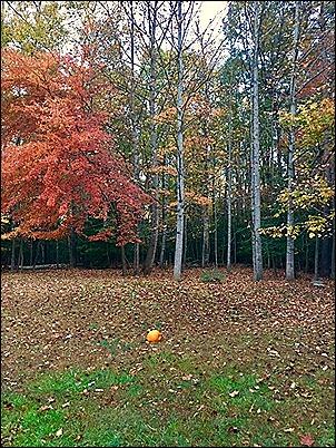 Pumpkin on back lawn