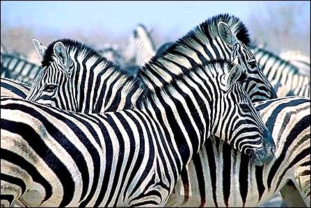 zebra stock foto
