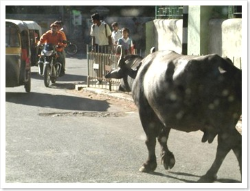cow in pune street