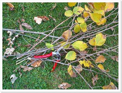 Slippery Elm Branches